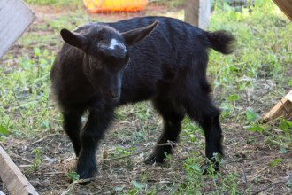 Nigerian Dwarf Doeling at Cabochon Farm in Zimmerman, MN